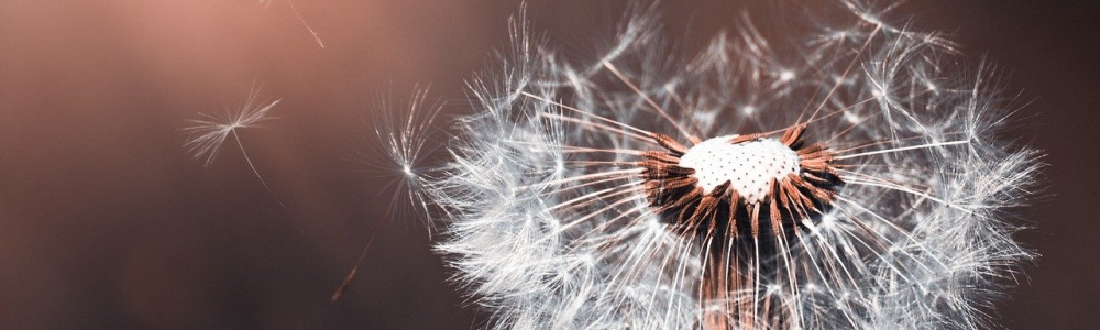 Nature - dandelion