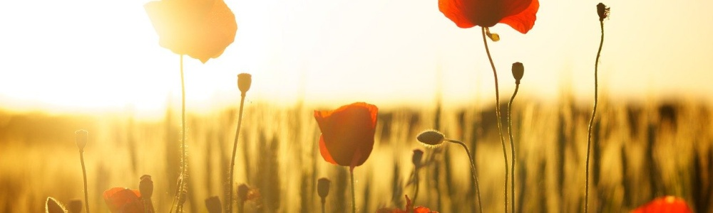 SUNSET poppy flowers in a field
